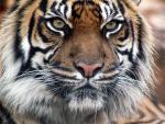 Tiger фотография